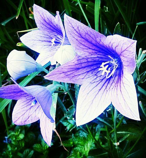 Flower Purple Nature Blooms