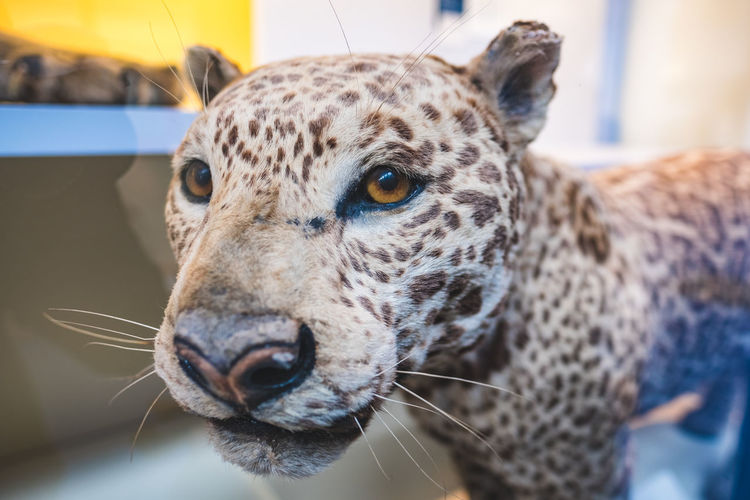 Close-up of taxidermy leopard at home