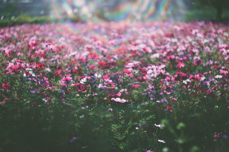 Pink Wildflowers In Meadow