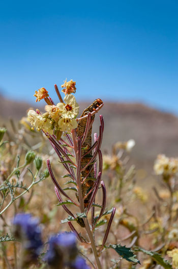 Anza Borrego Desert Flowers Plant Flowering Plant Flower Growth Beauty In Nature Nature Fragility Vulnerability  Sky Close-up Freshness Focus On Foreground No People Day Land Field Clear Sky Sunlight Petal Blue Outdoors Flower Head Anza Borrego