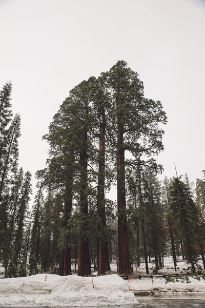 Beauty In Nature Clear Sky Cloudy Cold Temperature Day Forest Growth Landscape Nature No People Outdoors Road Roadtrip Scenics Sequoia Sequoia National Park Sky Snow Snowing Spring Tranquil Scene Tranquility Tree Trees Winter
