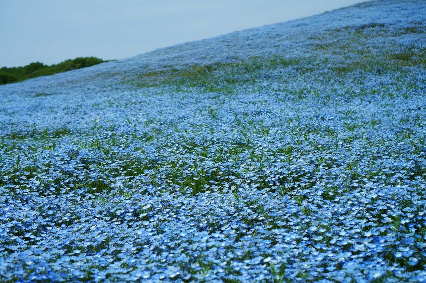 Close-up Sky Nature Day No People Outdoors Beauty In Nature Landscape Grass Flower Blue Nemophila Field Of Flowers Flower Garden