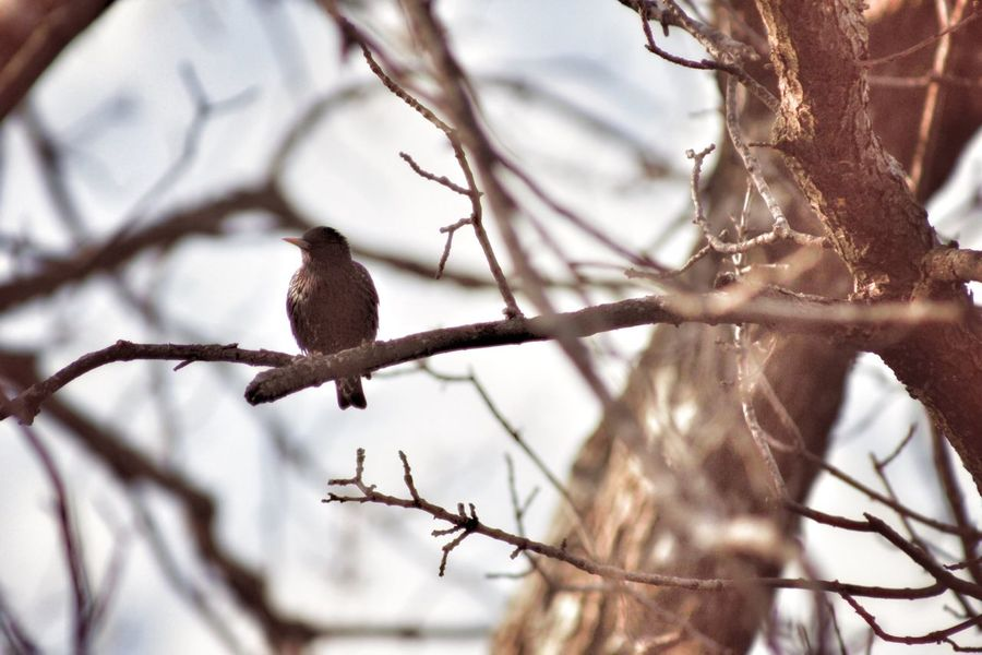 Starling Bare Tree Nature Animal Wildlife Branch Perching Outdoors