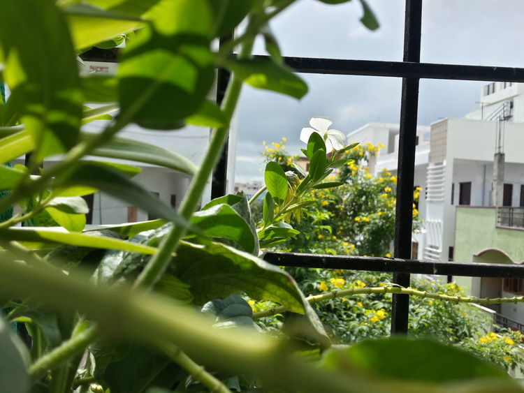 In my balcony Nature Indoors  Green Color Greenery Plants 🌱 White Flower No Filter No People Gardening Indoor Gardening Concrete Jungle Life In City Love For Nature ✌