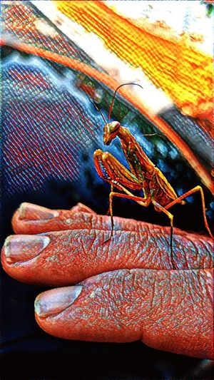 Praying Buddy Portland Pdx Insect Insect Photography Artistic Pyschedelic Trip Praying Mantis Nature Portland, OR Oregon Filters Close-up No People Day Animals In The Wild