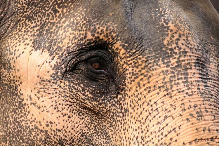 Close-up of thai elephant