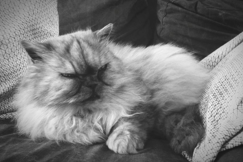 Mon chouchou d'amour! Cat Cat Lovers Persan Chouchoudamour Pet