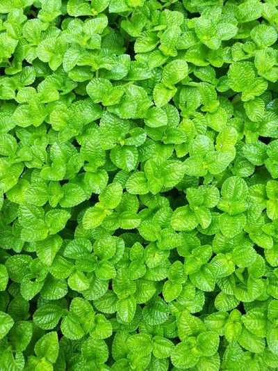 Green Green Beautiful Backgrounds Full Frame Leaf Close-up Green Color Plant Leaves