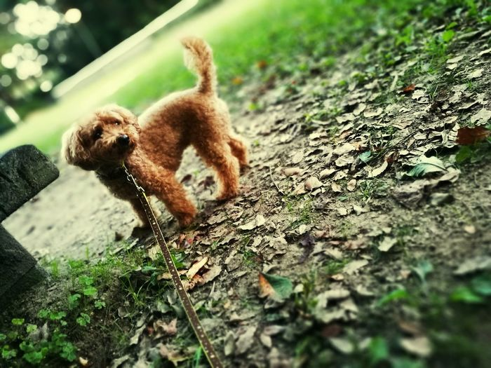 Animal Themes Dog Outdoors Toypoodle First Eyeem Photo