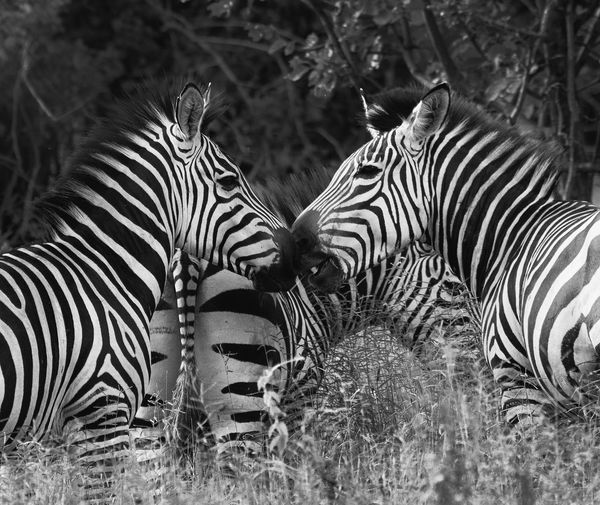 View of two zebras