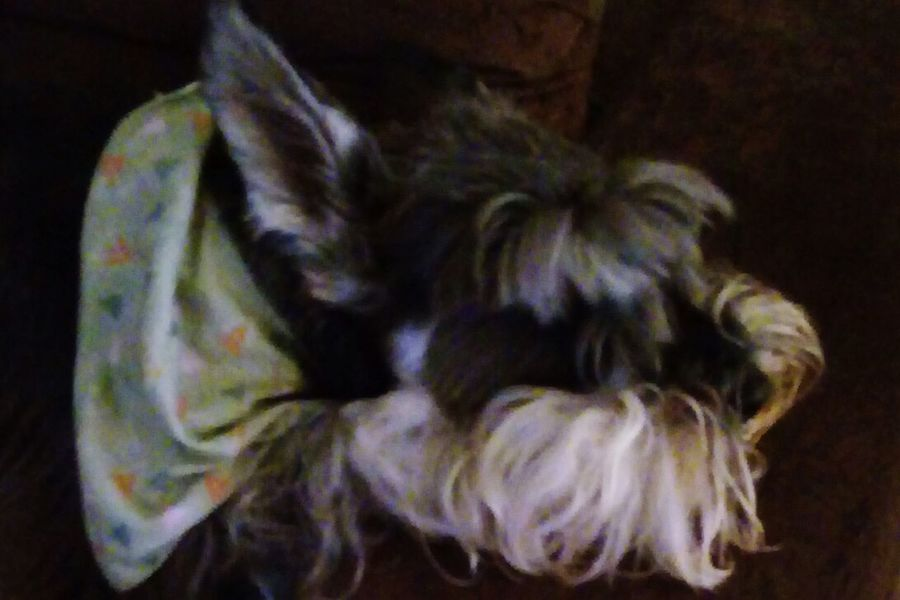 Schnauzer Johnny Hanna Domestic Animals Pets One Animal Animal Themes Indoors  No People Dog Mammal Day Close-up