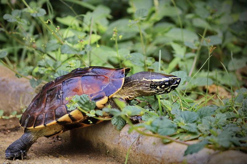 Malayan Snail-