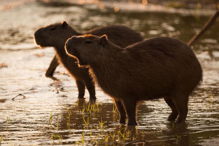 Capybaras at lakeshore during sunset