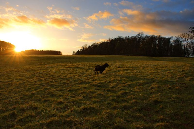 Orange Sky Sunset Dogslife Dog Animal Themes One Animal Mammal Sunset Domestic Animals Field Grass Nature No People Sky Landscape Cloud - Sky Tree Scenics Outdoors Pets Beauty In Nature Day