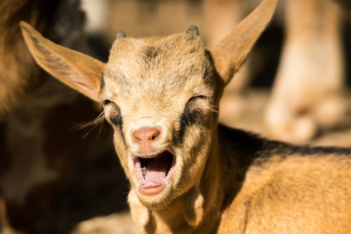 Muuuuuummmy! Animal Themes Animal Wildlife Baby Goat Baby Goats Close-up Farm Farm Life Focus On Foreground Goat Goat Life Mammal Meme Mummy Love  Nature No People One Animal Outdoors Panic Portrait Pup Puppies Shocked Summer Springtime Spring