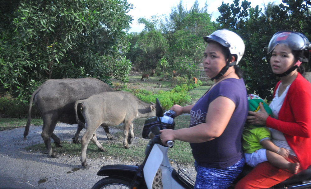 Women on motorscooter on country road waiting for cattle to cross, in Lang Co, Vietnam. Babies Casual Clothing Cattle Countryside Cows Crossing Editorial  Helmets Livestock Livestock Lăng Cô Mothers Motorscooters Outdoors Road Rural Side View Vietnam Waiting