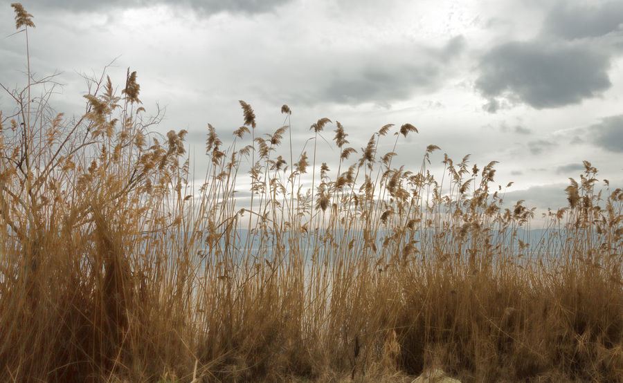Lakeside View Beauty In Nature Cakirca Cloud - Sky Golden Golden Color Grassy Lakeview Landscape Nature Reed - Grass Family Reeds Reeds, Weeds, Marshland, Marsh, Scenic Landscapes Scenics Shoreline Tranquility Turkey