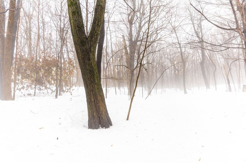 Tree in a fog covered forest white winter landscape nature background Fog Winter Snow Cold Temperature Bare Tree Tree Nature Tranquility Beauty In Nature Landscape Outdoors Branch Tree Trunk No People Scenics Day