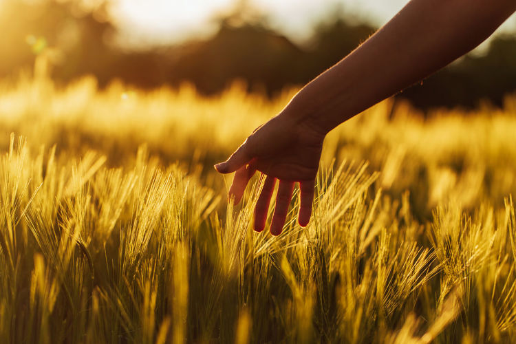 Close-up of hand touching wheat on field