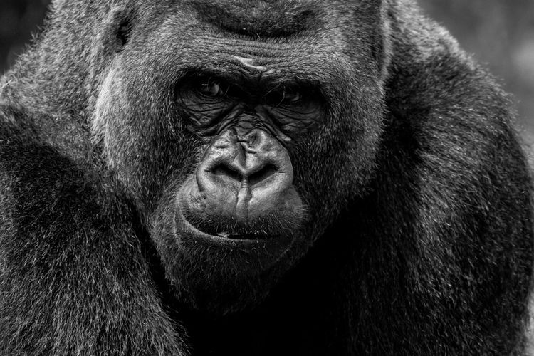 Who are you looking at? Primate Ape Mammal Gorilla Animal Wildlife One Animal Portrait Close-up Outdoors