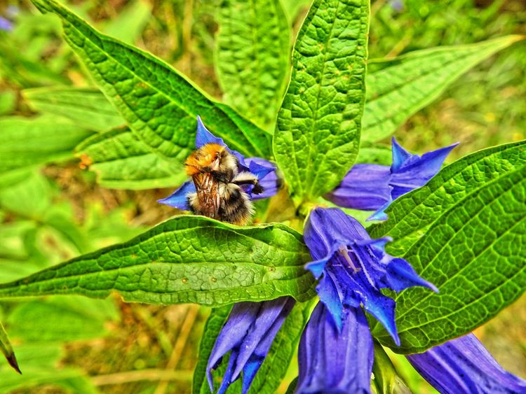 Bumble-bee Beauty In Nature Blue Butterfly Butterfly - Insect Close-up Day Focus On Foreground Fragility Green Green Color Growth Humble-bee Insect Leaf Leaf Vein Natural Pattern Nature No People Outdoors Plant Purple Selective Focus Wildlife