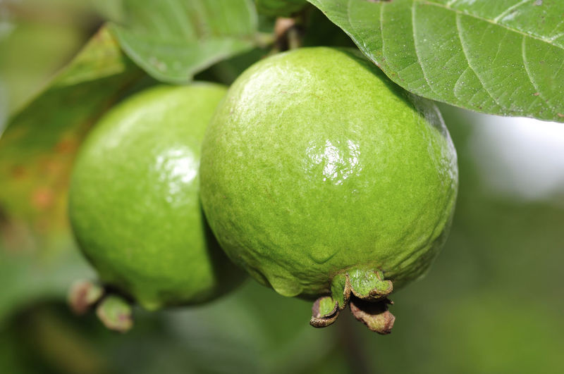 guava fruits on tree Fruit Food And Drink Green Color Food Healthy Eating Freshness Close-up Plant Part Leaf Wellbeing No People Growth Plant Focus On Foreground Day Tree Nature Beauty In Nature Outdoors Fruit Tree Ripe
