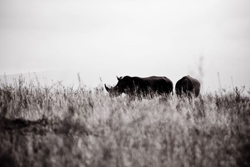 Rhinoceroses standing on grassy field against clear sky