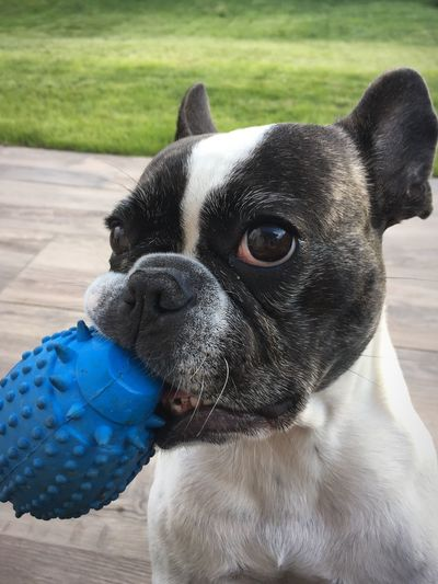 Pet Portraits The Week On EyeEm Frenchbulldog Hund Dog Französische Bulldogge  Iphoneonly IPhone SE French Bulldog Awww Awww So Cute <3 Hunde Playtime Animal Themes Dog With Toy Hund Mit Spielzeug Hey There Hello
