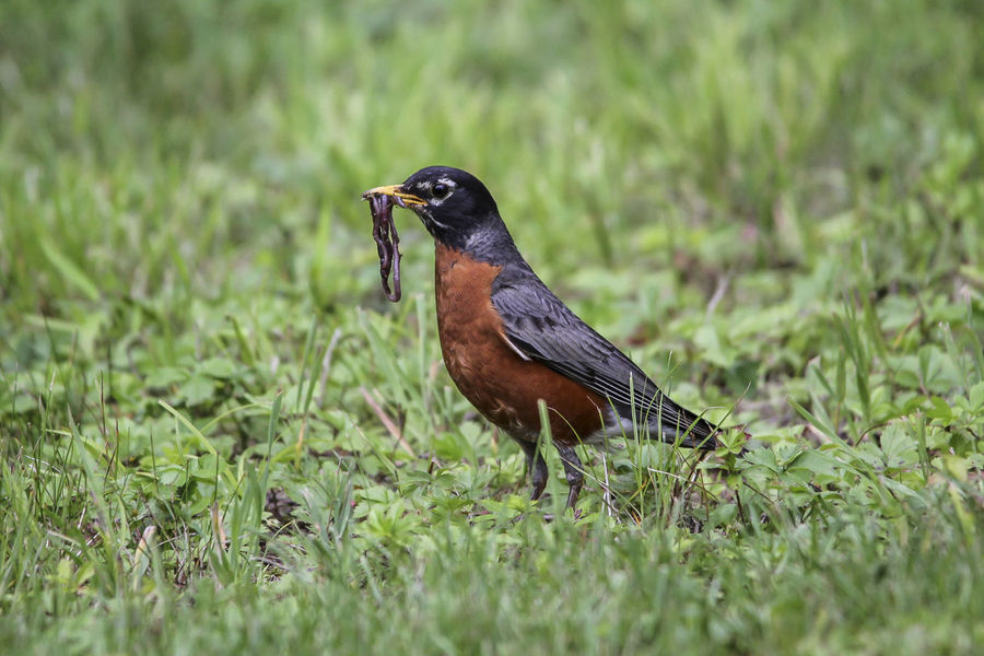 American robin - Turdus migratorius American Robin Animal Animal Themes Bird Day Field Focus On Foreground Grass Grassy Green Green Color Nature No People Selective Focus Wildlife