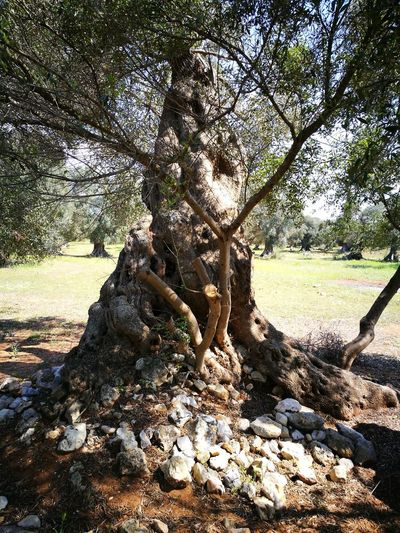 Millenary Olive Tree Tree Leaf Earth Salento Puglia Lecce My Country Sunlight Outdoors Beauty In Nature No People Plant Day Tree Sky