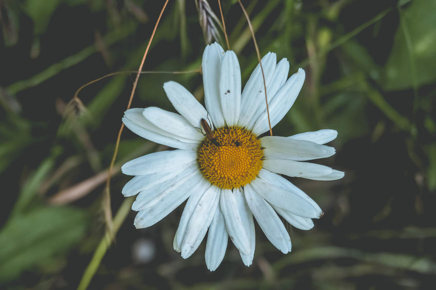 Chamomile Flower Chamomilla Chamomile Bouquet Chamomile Field Chamomile Flowers Chamomile Leaf Nature Outdoors Petal Day Freshness Beauty In Nature No People Flower Macro Photography