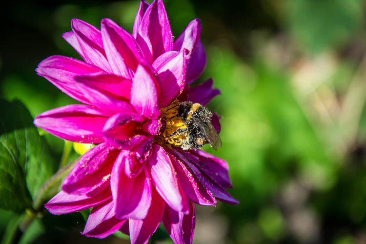 Close-Up Of Bumblebee On Magenta Flower