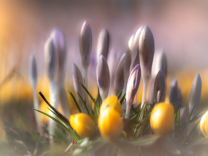 Plant Flower Growth Selective Focus Flowering Plant Beauty In Nature Nature Freshness Vulnerability  Close-up Fragility No People Yellow Beginnings Day Outdoors New Life Crocus Petal Purple Softness