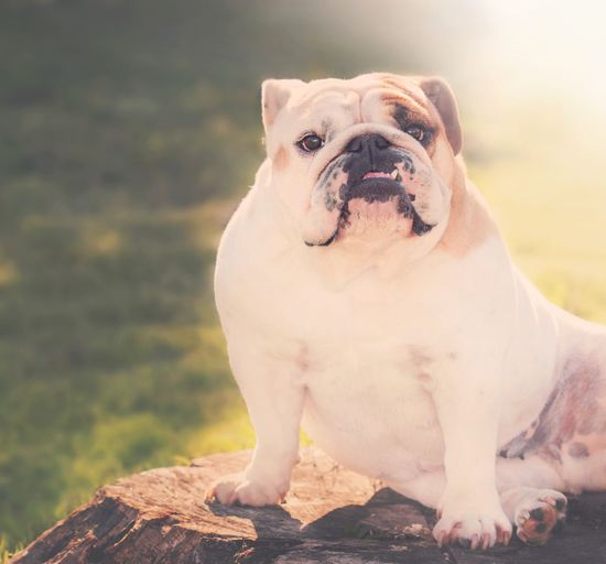 Outdoor portrait of french bulldog