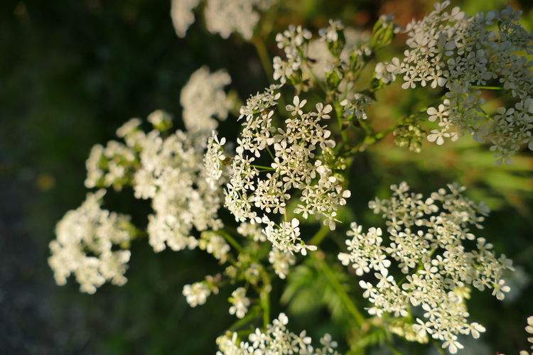 Nature Plant Plant Part Outdoors Nature Reserve Day No People Landscape Flower Close-up Summer Beauty In Nature Dill Anise Cow Parsley White Flowers