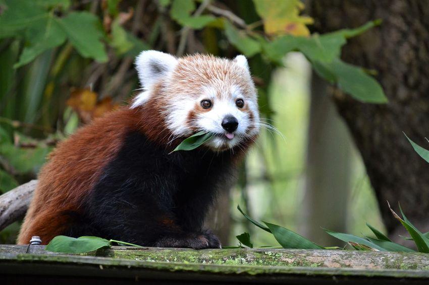 Animal Themes Animal Wildlife Day Eating Eyeemnaturelover EyeEmNewHere Fresh On Eyeem  Greenery Mammal Nature No People One Animal Outdoors Panda - Animal Red Panda Whiskers Zoo