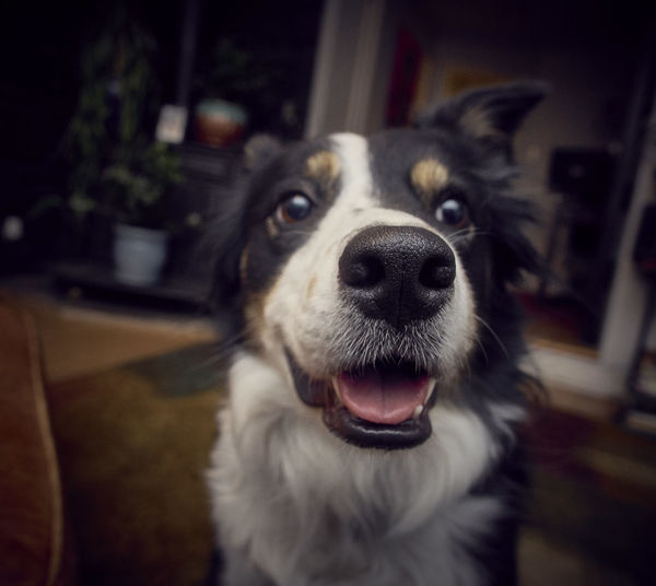 Close up of a border collie in the living room. Border Collie Animal Themes Close Up Close-up Day Dog Domestic Animals Focus On Foreground Home Interior Indoors  Indoors  Looking At Camera Mammal No People One Animal Pets Portrait Rescuedog