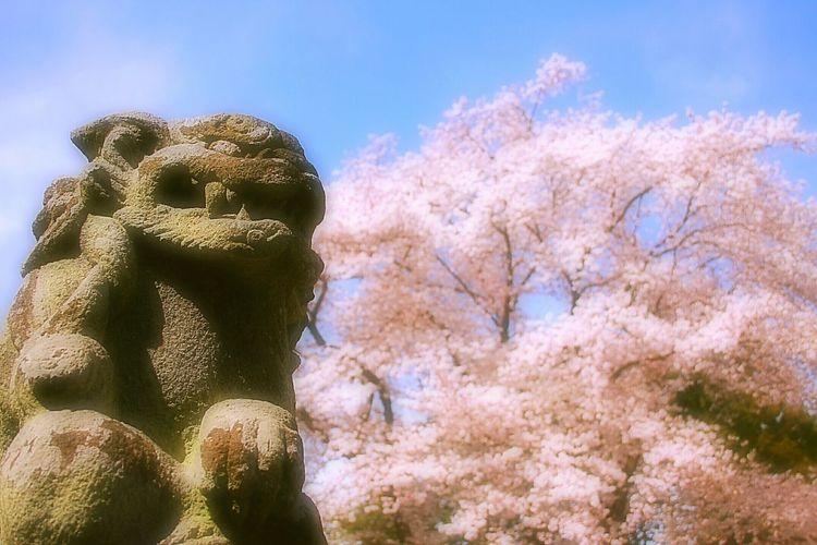 高麗犬と桜。 Japan Japanese Shrine Spring Showcase April Hello World 春 神社 桜 Bokeheffect Spring Time Pink Sakura Cherry Blossoms