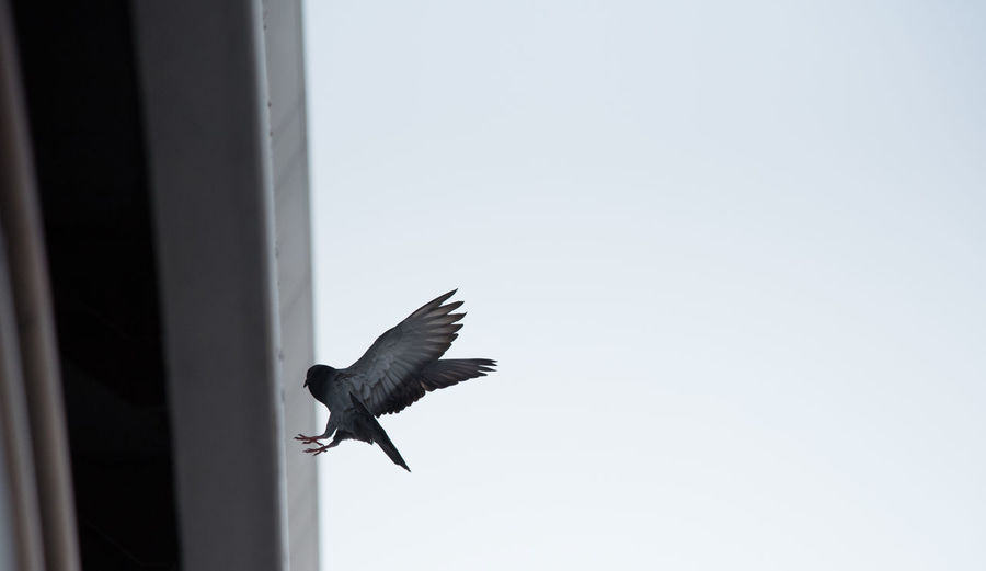 Low angle view of bird flying by building against clear sky