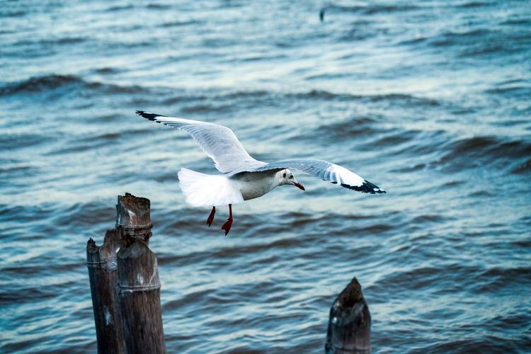 Full length of seagull flying over sea