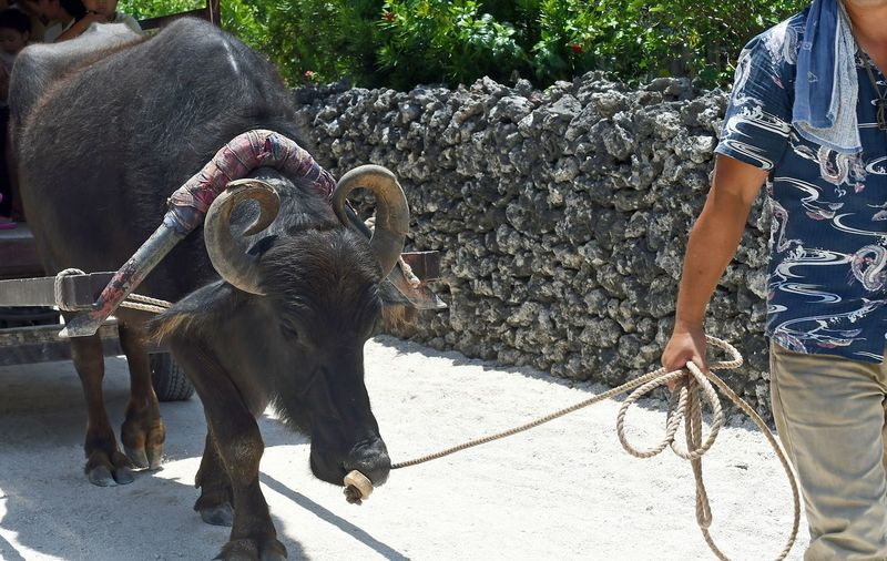 Midsection of man walking with domestic water buffalo