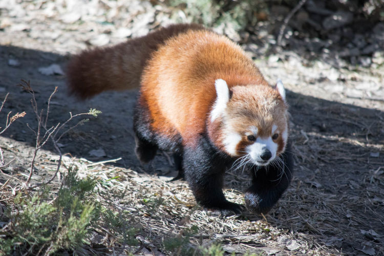 Close-Up Of Red Panda Running On Field