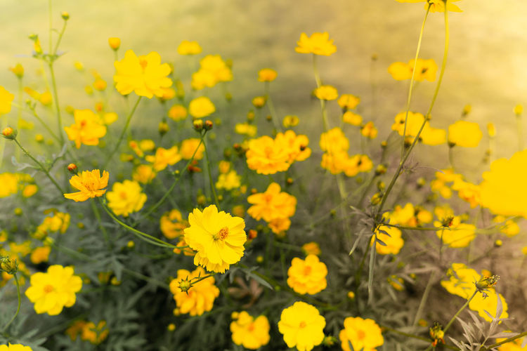 Starburst flowers summer yellow leaf Flower Flowering Plant Freshness Fragility Growth Vulnerability  Beauty In Nature Yellow Plant Field Land Close-up No People Selective Focus Nature Petal Flower Head Day Inflorescence Outdoors Springtime