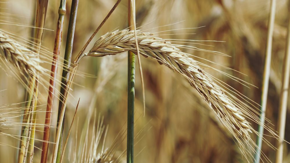 Kornfeld -Ähre Landwirtschaft Kornfeld Getreide Ahre Erntezeit Sommer EyeEm Selects Wheat Cereal Plant Ear Of Wheat Agriculture Rye - Grain Backgrounds Crop  Rural Scene Close-up Plant