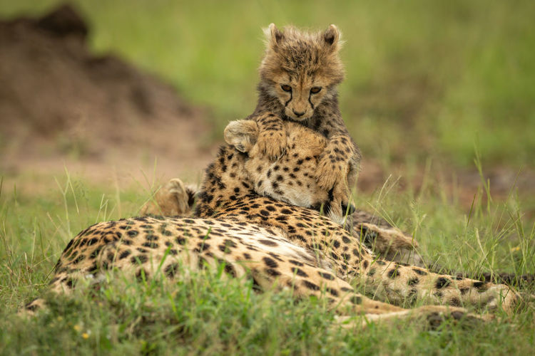 Cub lies resting on head of cheetah