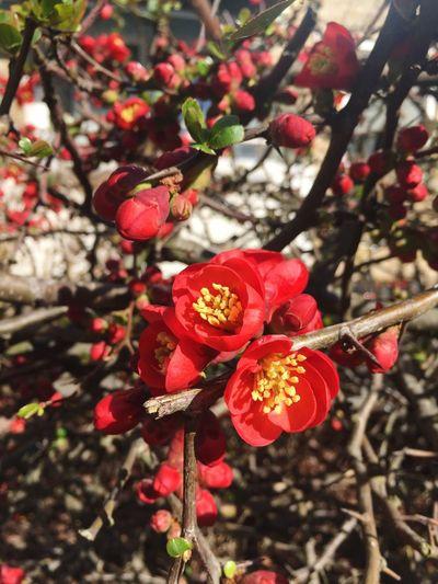 Spring Flowers Blooming April Showers Bring May Flowers! AprilShowers Red Denmark Copenhagen, Denmark Copenhagen