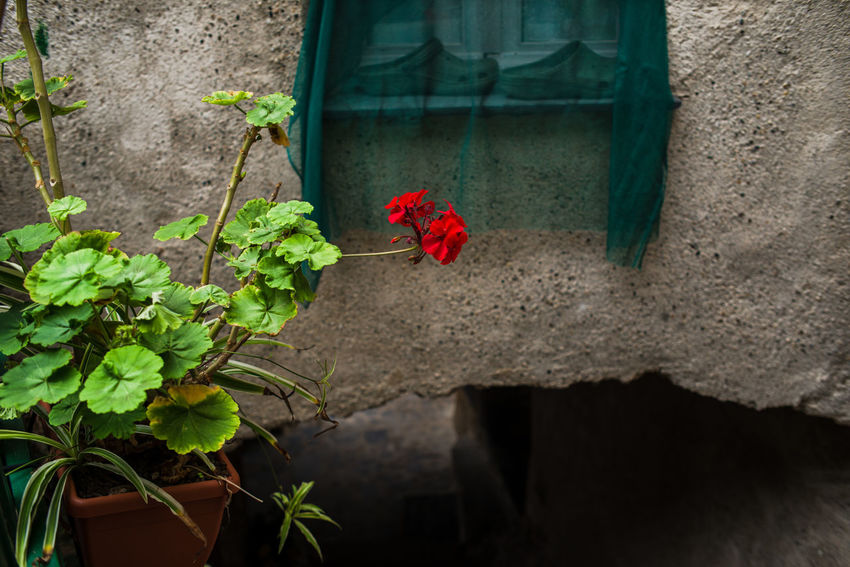 Architecture San Fruttuoso Di Camogli Archway Beauty In Nature Blooming Close-up Day Flower Flower Head Fragility Freshness Geranium Growth Leaf Nature No People Outdoors Plant Red Red Flower Window