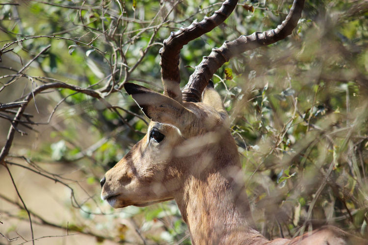 Taking Photos Wildlife Wildlife & Nature Wildlife Photography Animals African Antelope Furry Creature Horns Nature Beauty In Nature Africa South Africa