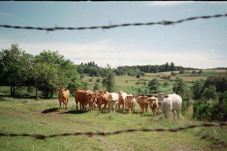 Cattle On Grass Against Sky