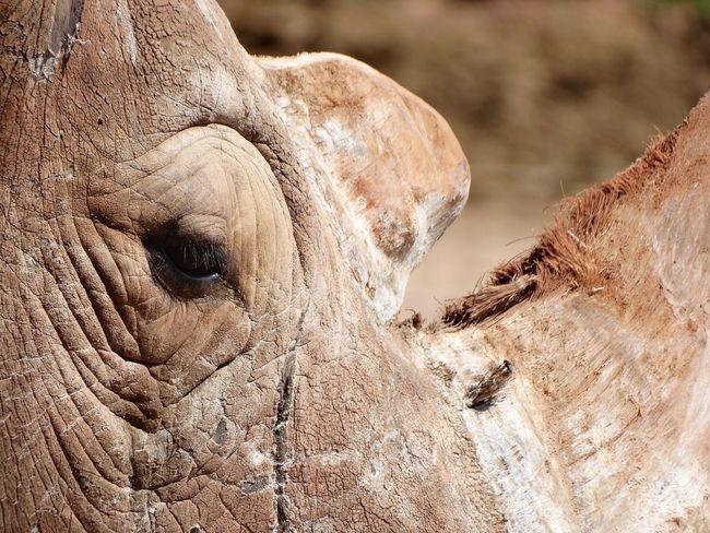 Rhino. Rhino Rhinoceros Rhinos Rhino Close Up Close-up Close Up Closeup Animals Animal Animal Themes Animal Photography Animal Close Up Horn Eyes Eye Animal_collection Animal Head  Rhino Head Zoo Zoology